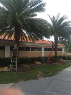 buy palm trees south florida nursery e1489388959382 300x400 Landscape Design Company